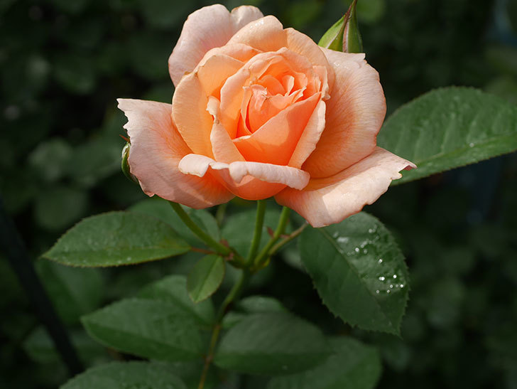 地植えのアプリコットキャンディ(Apricot Candy)の2番花が咲いた。木立バラ。2020年-003.jpg