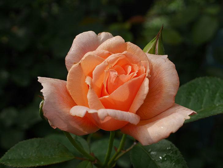 地植えのアプリコットキャンディ(Apricot Candy)の2番花が咲いた。木立バラ。2020年-004.jpg