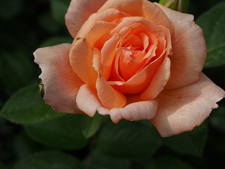 地植えのアプリコットキャンディ(Apricot Candy)の2番花が咲いた。木立バラ。2020年-005.jpg