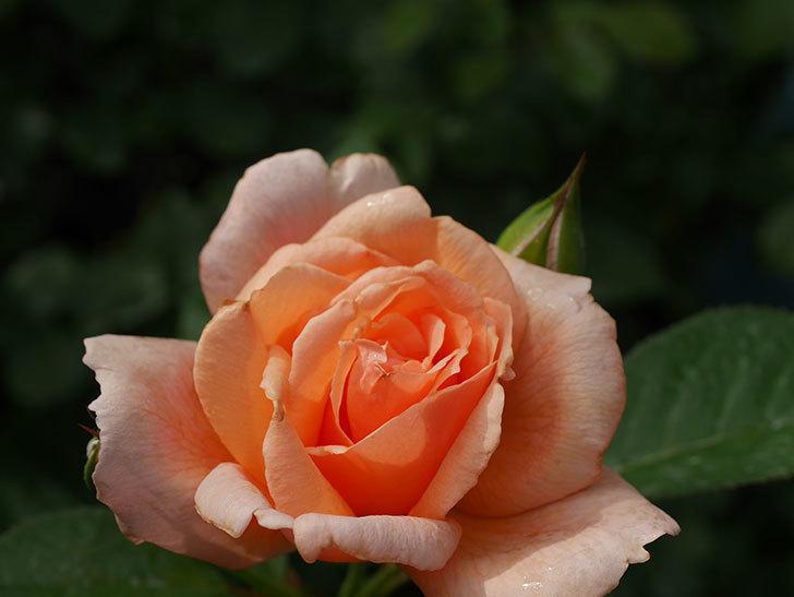 地植えのアプリコットキャンディ(Apricot Candy)の2番花が咲いた。木立バラ。2020年-006.jpg