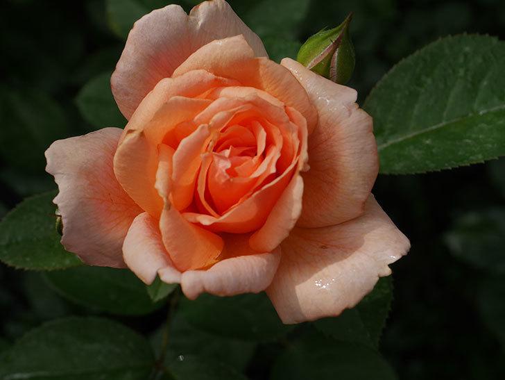 地植えのアプリコットキャンディ(Apricot Candy)の2番花が咲いた。木立バラ。2020年-007.jpg