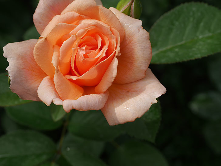 地植えのアプリコットキャンディ(Apricot Candy)の2番花が咲いた。木立バラ。2020年-008.jpg