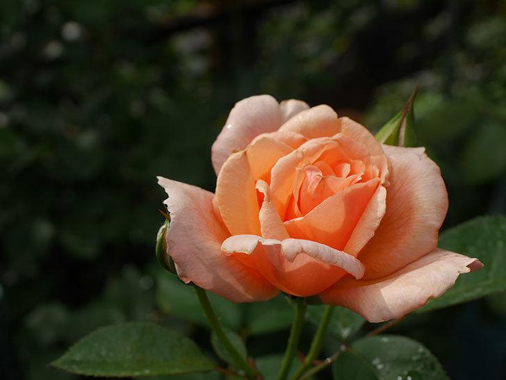 地植えのアプリコットキャンディ(Apricot Candy)の2番花が咲いた。木立バラ。2020年-009.jpg
