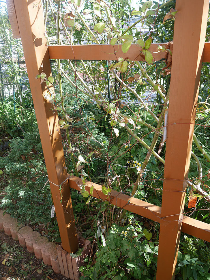 地植えのアンドロメダ(早咲き大輪系-パテンス系-新旧両枝咲き)を誘引し直した。2019年-1.jpg