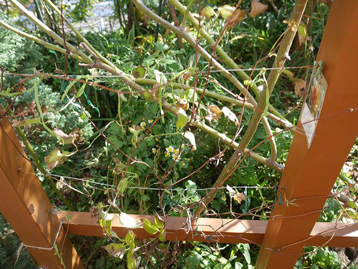 地植えのアンドロメダ(早咲き大輪系-パテンス系-新旧両枝咲き)を誘引し直した。2019年-2.jpg
