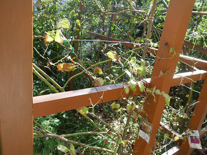 地植えのアンドロメダ(早咲き大輪系-パテンス系-新旧両枝咲き)を誘引し直した。2019年-6.jpg