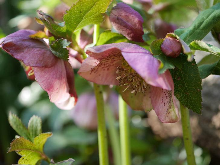 地植えのオリエンタリス 紫のシングルの花が咲いた。2021年-002.jpg