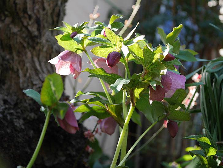 地植えのオリエンタリス 紫のシングルの花が咲いた。2021年-004.jpg