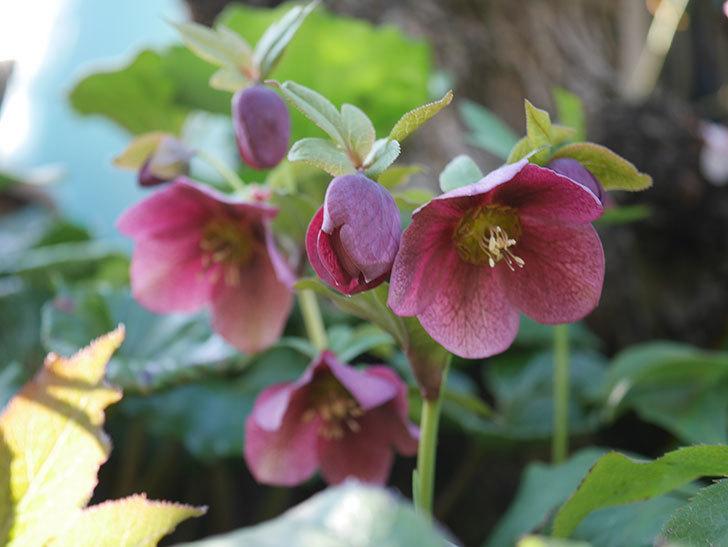地植えのオリエンタリス 紫のシングルの花が咲いた。2021年-005.jpg