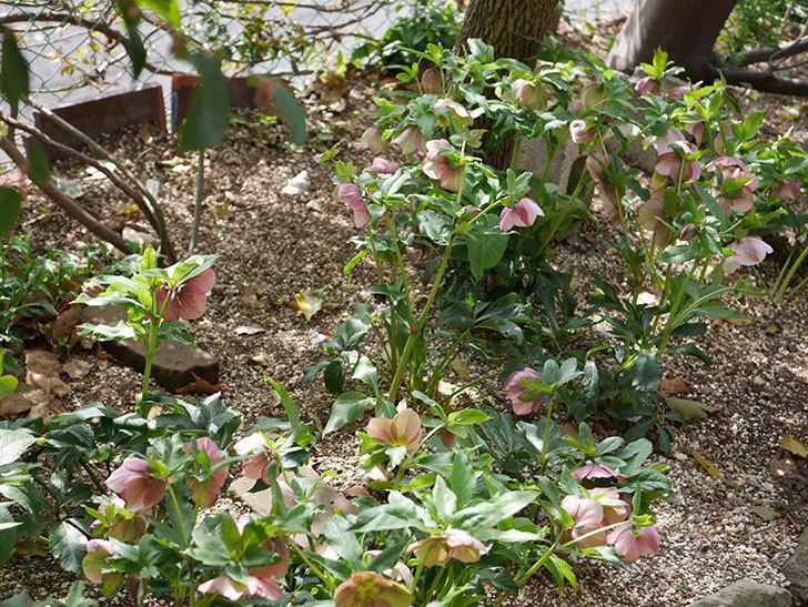 地植えのオリエンタリス 紫のシングルの花が咲いた。2021年-033.jpg
