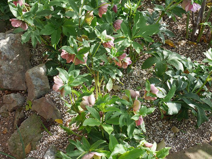 地植えのオリエンタリス 紫のシングルの花が咲いた。2021年-036.jpg