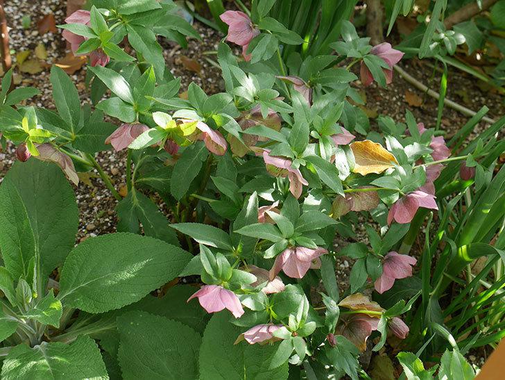 地植えのオリエンタリス 紫のシングルの花が咲いた。2021年-038.jpg