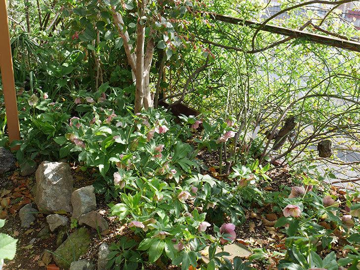 地植えのオリエンタリス 紫のシングルの花が咲いた。2021年-041.jpg