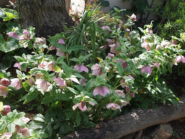 地植えのオリエンタリス 紫のシングルの花が咲いた。2021年-042.jpg