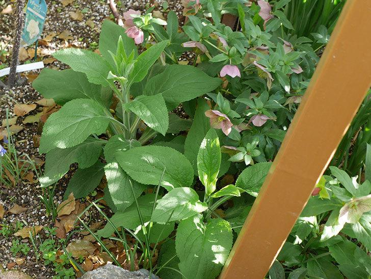 地植えのオリエンタリス 紫のシングルの花が咲いた。2021年-054.jpg