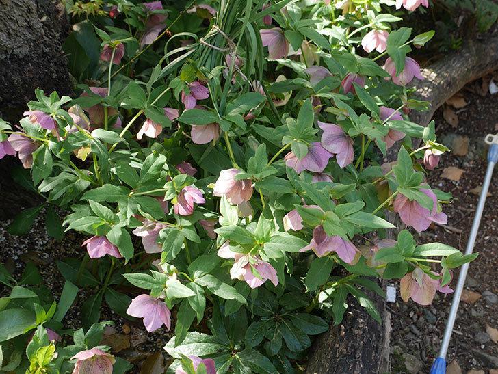 地植えのオリエンタリス 紫のシングルの花が咲いた。2021年-055.jpg