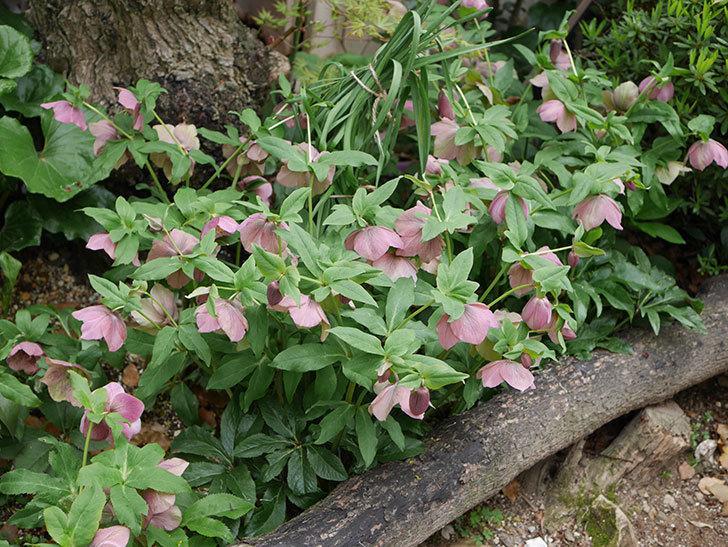 地植えのオリエンタリス 紫のシングルの花が咲いた。2021年-058.jpg