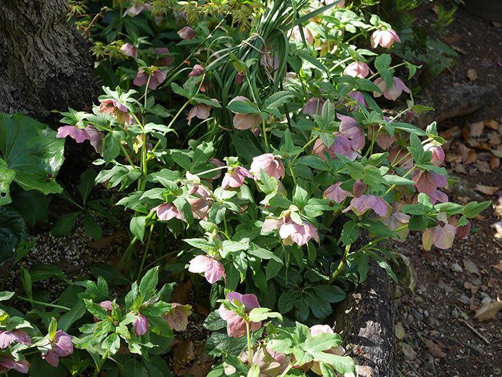地植えのオリエンタリス 紫のシングルの花が咲いた。2021年-066.jpg