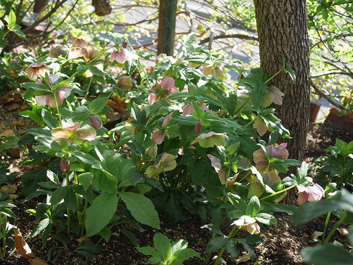 地植えのオリエンタリス 紫のシングルの花が咲いた。2021年-068.jpg