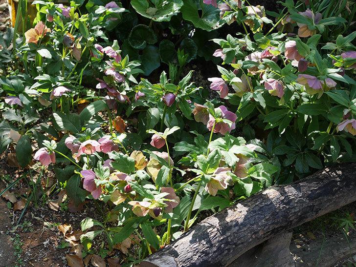 地植えのオリエンタリス 紫のシングルの花が咲いた。2021年-070.jpg