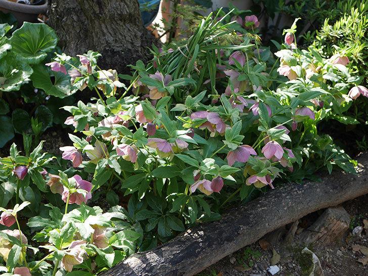 地植えのオリエンタリス 紫のシングルの花が咲いた。2021年-071.jpg