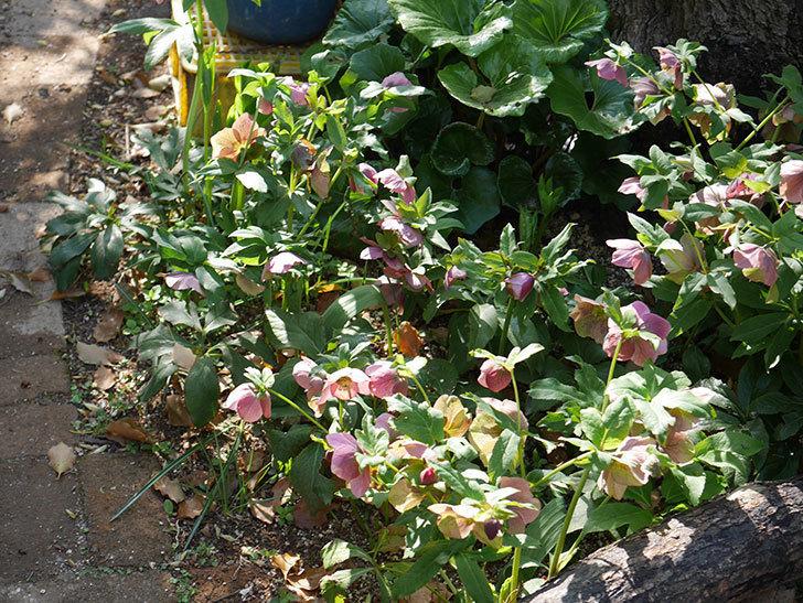 地植えのオリエンタリス 紫のシングルの花が咲いた。2021年-072.jpg