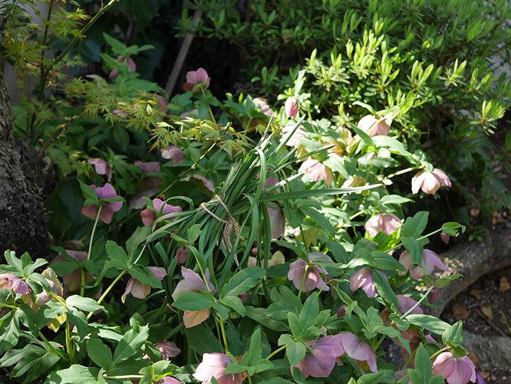 地植えのオリエンタリス 紫のシングルの花が咲いた。2021年-075.jpg