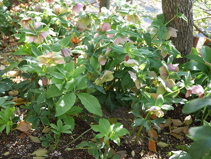 地植えのオリエンタリス 紫のシングルの花が咲いた。2021年-082.jpg