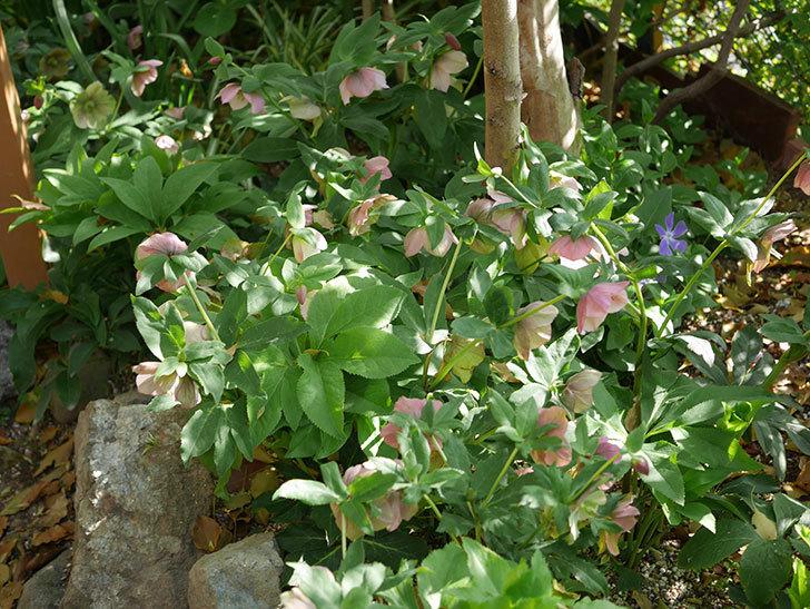 地植えのオリエンタリス 紫のシングルの花が咲いた。2021年-084.jpg