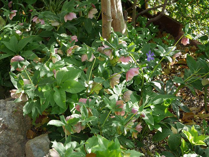 地植えのオリエンタリス 紫のシングルの花が咲いた。2021年-085.jpg