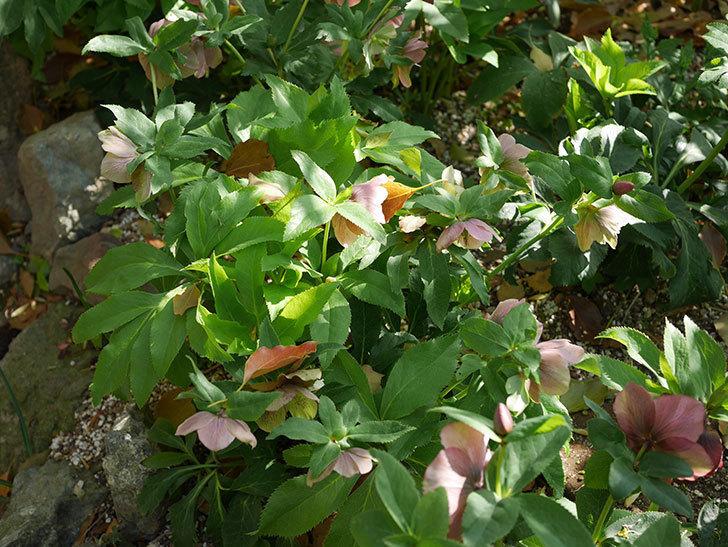 地植えのオリエンタリス 紫のシングルの花が咲いた。2021年-086.jpg