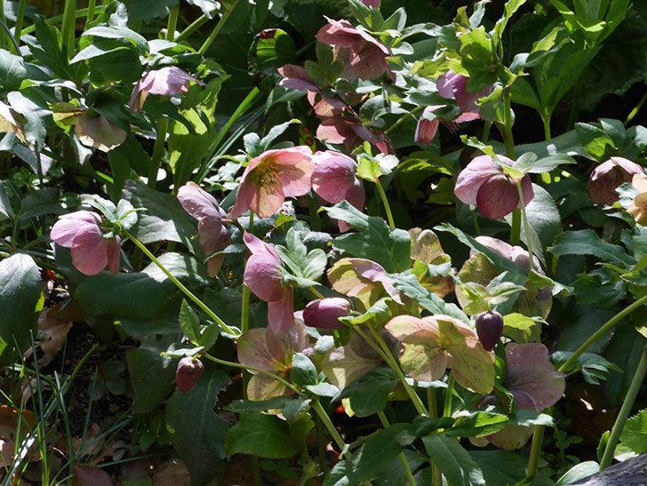 地植えのオリエンタリス 紫のシングルの花が咲いた。2021年-090.jpg