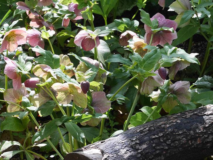 地植えのオリエンタリス 紫のシングルの花が咲いた。2021年-092.jpg