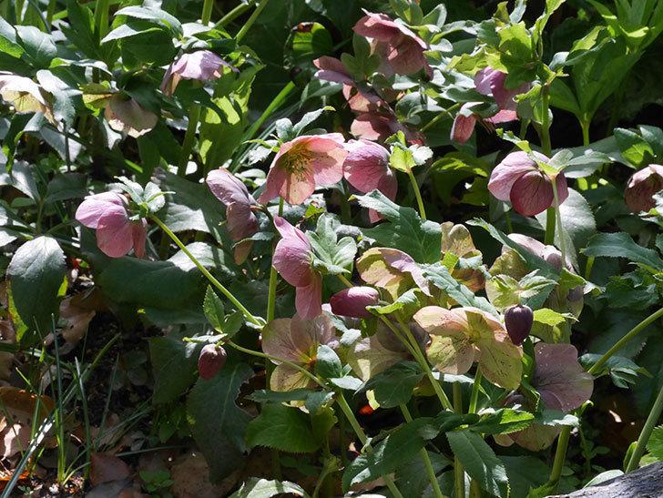 地植えのオリエンタリス 紫のシングルの花が咲いた。2021年-093.jpg