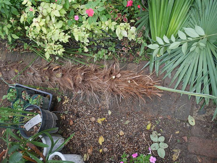 地植えのシュロの木を切った。2019年-13.jpg