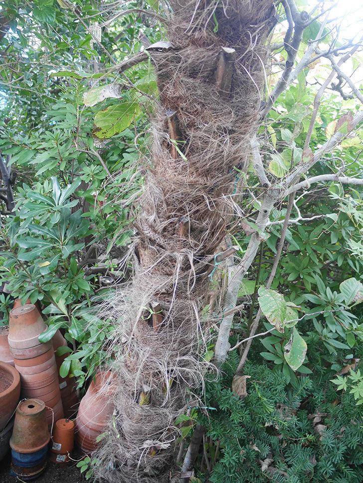 地植えのシュロの木を切った。2019年-8.jpg