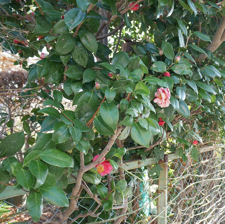 地植えのツバキに白と赤のしぼりの花が咲いた。2019年-4.jpg