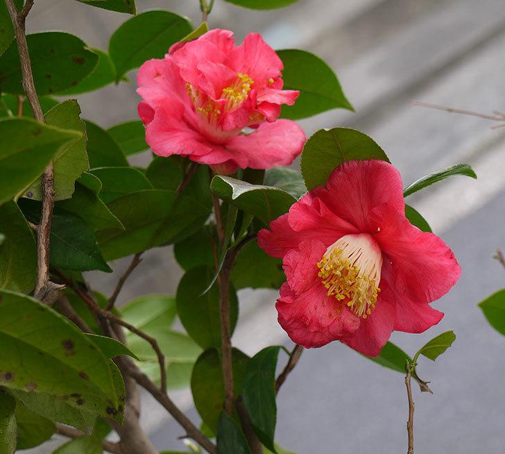地植えのツバキの花が咲いた。2017年-1.jpg