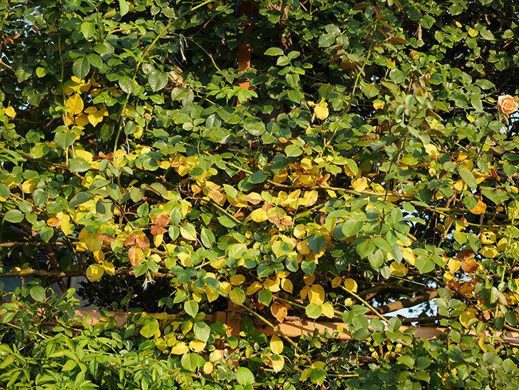 地植えのツルバラの葉が大量に黄色くなってきた。2020年-001.jpg