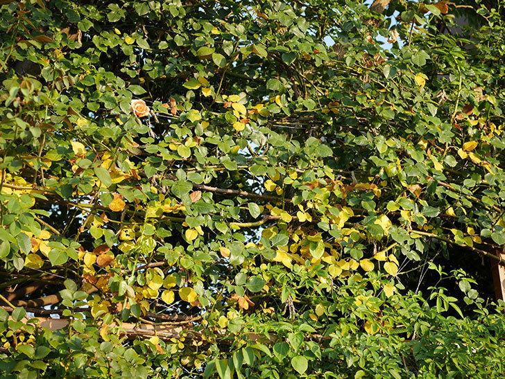 地植えのツルバラの葉が大量に黄色くなってきた。2020年-002.jpg