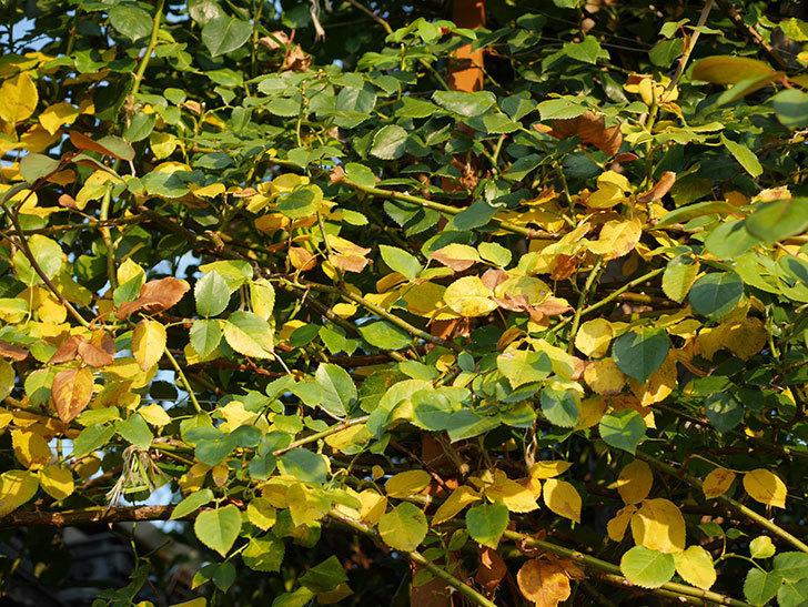 地植えのツルバラの葉が大量に黄色くなってきた。2020年-003.jpg