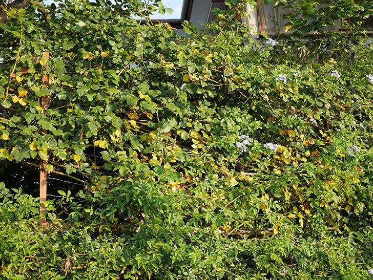 地植えのツルバラの葉が大量に黄色くなってきた。2020年-005.jpg