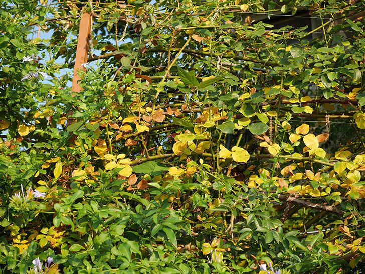 地植えのツルバラの葉が大量に黄色くなってきた。2020年-008.jpg
