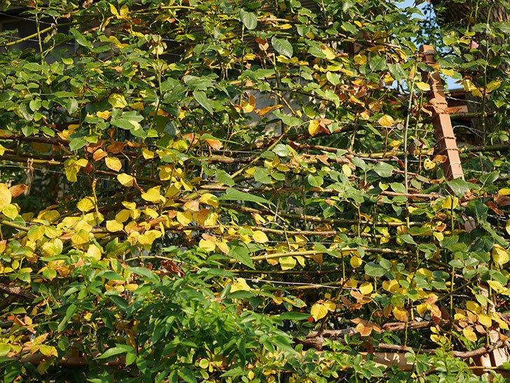 地植えのツルバラの葉が大量に黄色くなってきた。2020年-010.jpg