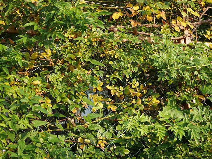 地植えのツルバラの葉が大量に黄色くなってきた。2020年-011.jpg