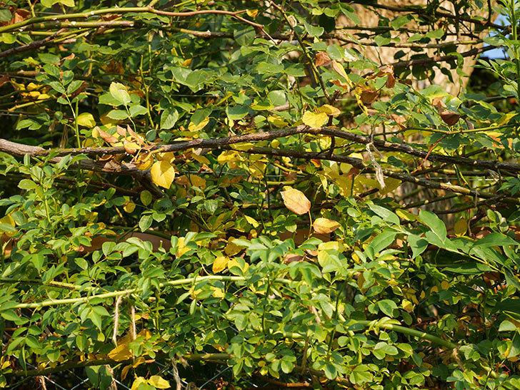 地植えのツルバラの葉が大量に黄色くなってきた。2020年-012.jpg