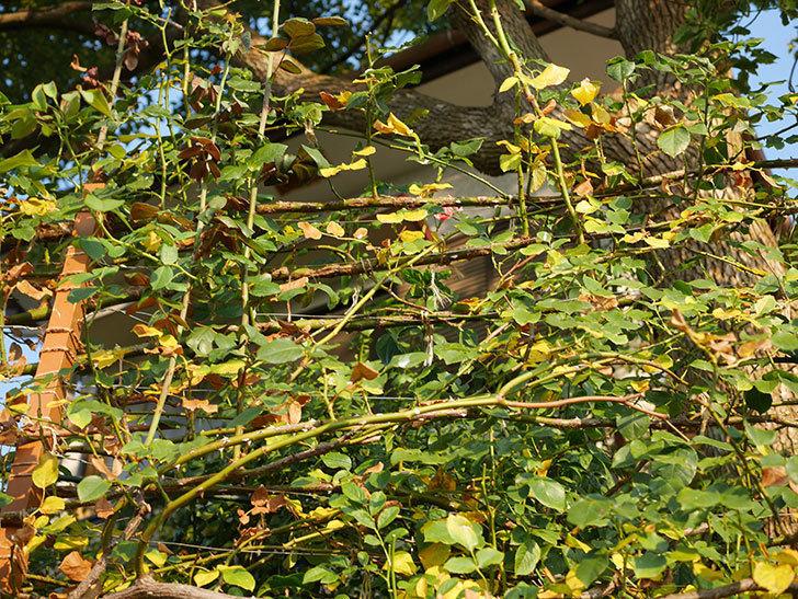 地植えのツルバラの葉が大量に黄色くなってきた。2020年-013.jpg
