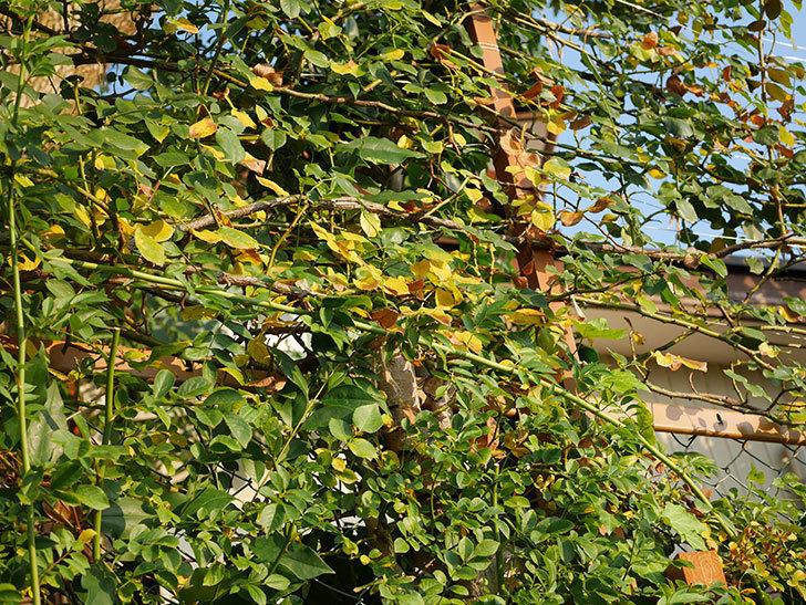 地植えのツルバラの葉が大量に黄色くなってきた。2020年-014.jpg