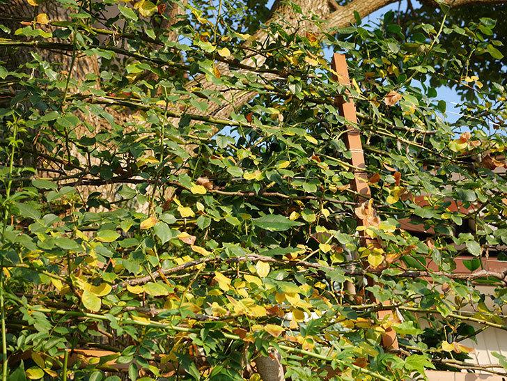 地植えのツルバラの葉が大量に黄色くなってきた。2020年-015.jpg