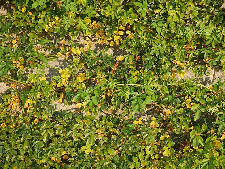 地植えのツルバラの葉が大量に黄色くなってきた。2020年-016.jpg